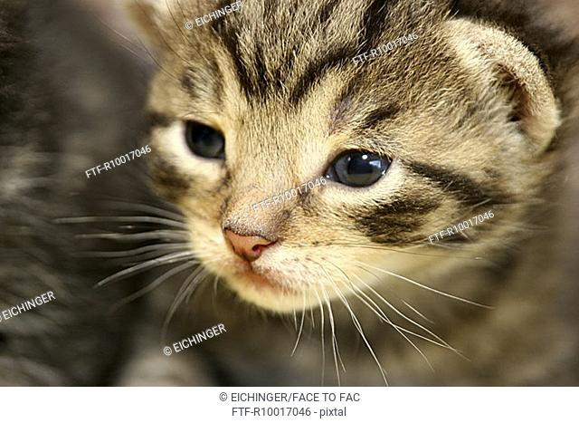 Close up of a gray eyed young cat