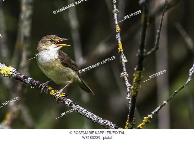 An eurasian reed warbler is sitting on a branch