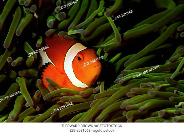 Common clownfish - Amphiprion ocellaris, Lembeh Strait, Indonesia