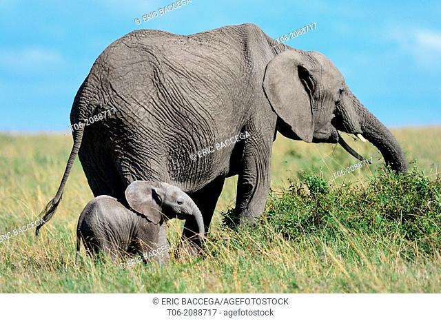 Female african elephant grazing on scrub vegetation with 2-3 month calf (Loxodonta africana), Masai Mara National Reserve, Kenya, Africa, October