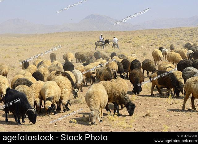 Iran, Fars province, Pasargadae region, Shepherd and shhep herd
