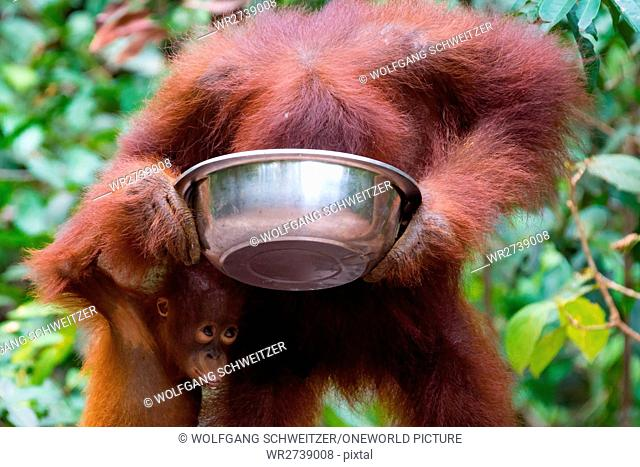 Indonesia, Kalimantan, Borneo, Kotawaringin Barat, Tanjung Puting National Park, Orangutan Lady with Child, Orangutan (Pongo pygmaeus)
