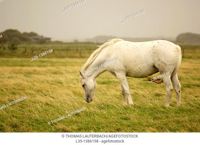 Mould horse in a pasture with a wind force 8, Sylt, Germany