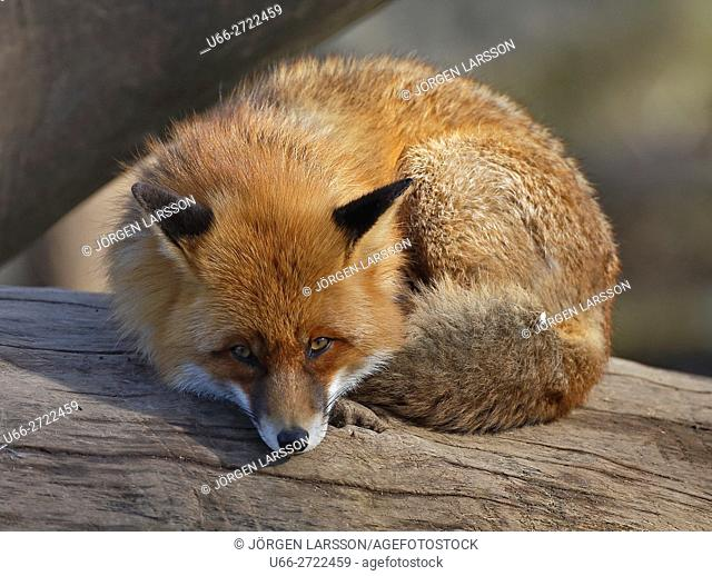 Sweden, Stockholm, Red Fox (Vulpes vulpes) looking at camera