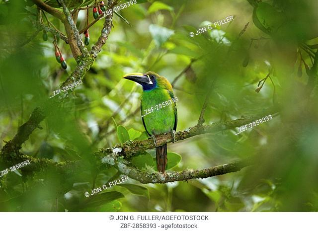 The Emerald Toucanet, Aulacorhynchus prasinus, is a smaller member of the toucan family found in mountainous areas of tropical Mexico and Central America