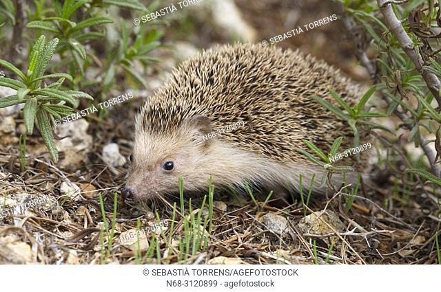 Hedgehog (Atelerix algirus vagans), Alcudia, Majorca, Balearic Islands, Spain