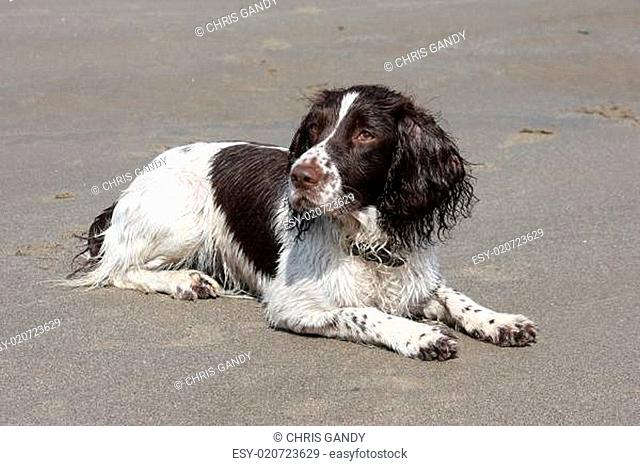liver and white working type english springer spaniel lying on a sandy beach