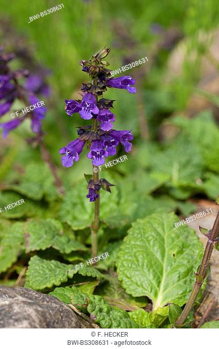 Dragonmouth, Dragon's mouth, Pyrenean Dead-nettle (Horminum pyrenaicum), blooming