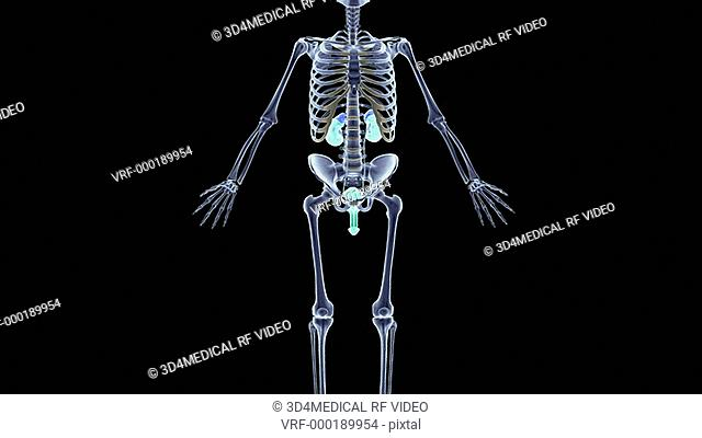 An animation of the renal system. The camera zooms in to show an anterior view of the kidneys relative to the skeleton