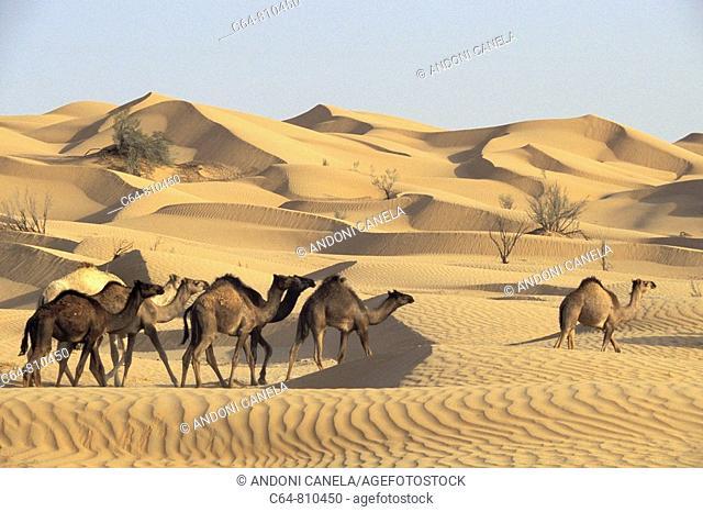 Camels at the Rub' al Khali ('Empty Quarter' in English) great sand desert, Oman, Arabian Peninsula