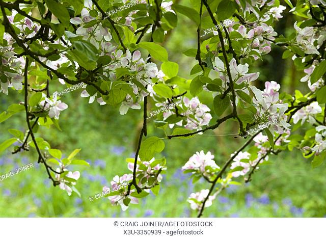 European Crab Apple (Malus sylvestris) blossom in spring in a woodland in the southwest of England