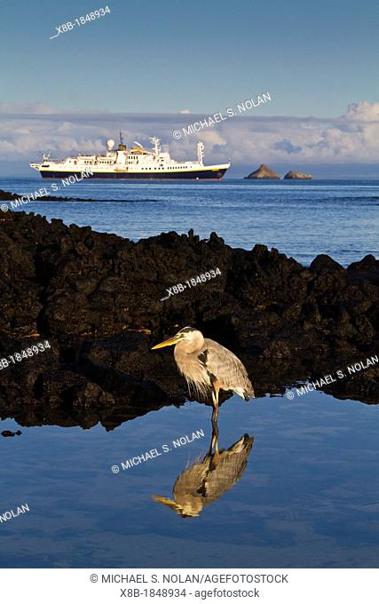 Adult great blue heron Ardea herodias cognata feeding in the tide pools with the National Geographic Endeavour behind at Cerro Dragon on Santa Cruz Island in...