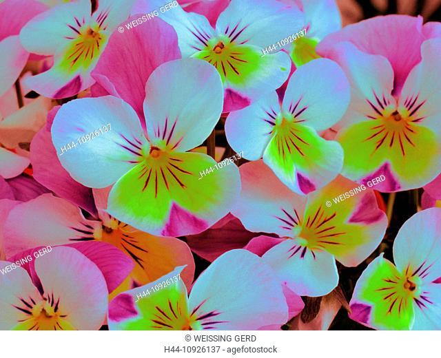 Flowers, plants, violets, horn-rimmed violets, viola, blossoms, flourish, colourful