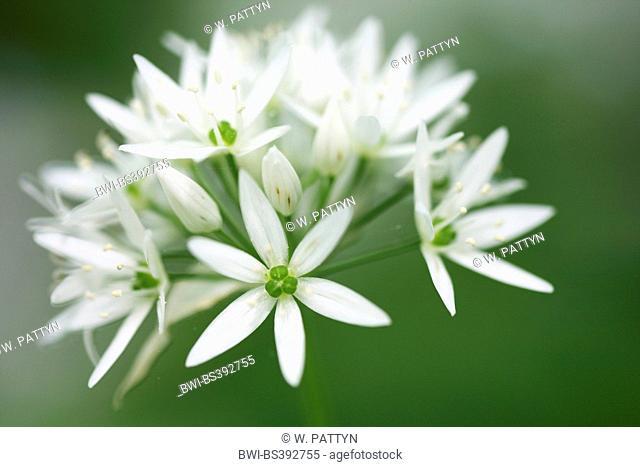 ramsons, buckrams, wild garlic, broad-leaved garlic, wood garlic, bear leek, bear's garlic (Allium ursinum), inflorescence, Belgium