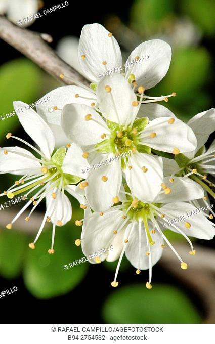 Prunus spinosa flowera, Blackthorn or Sloe. Fam. Rosaceae. Turo del Putget Park. Barcelona. Catalonia. Spain