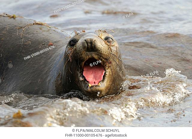 Northern Elephant-seal adult female, calling in surf, close-up of head, San Benitos Island, Baja California, Mexico