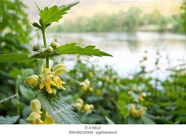 yellow dead-nettle Lamium galeobdolon, blooming on a riverbank, Germany, Baden-Wuerttemberg