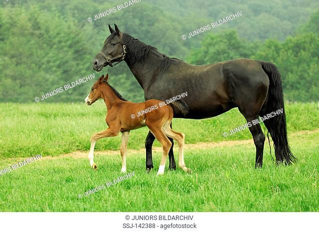 German Warmblood with foal on meadow