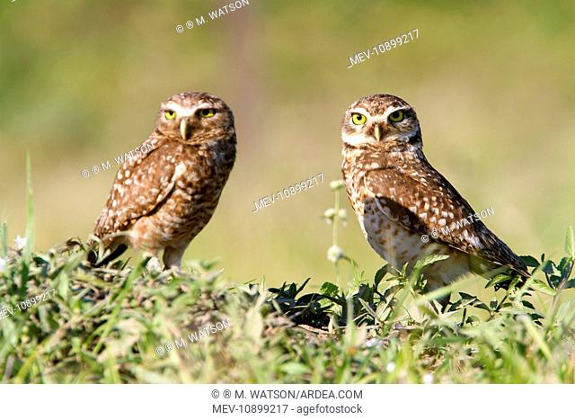 Burrowing Owl (Athene cunicularia). Pantanal area - Mato Grosso - Brazil