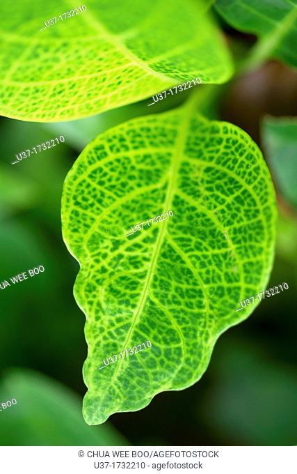 Green leaves. Image taken at Orchid Garden, Kuching, Sarawak, Malaysia