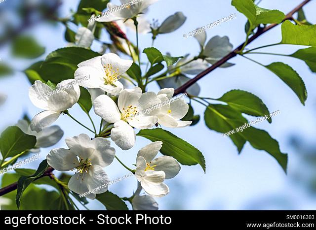 Beautiful flowering apple trees. background with blooming flowers in spring day. selective focus and bokeh