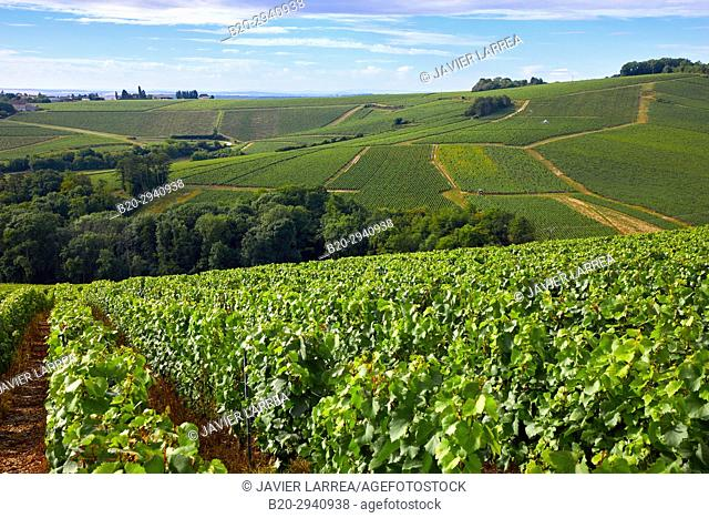 Vineyards of Chardonnay, Préhy, Chablis, Yonne, Bourgogne, Burgundy, France, Europe