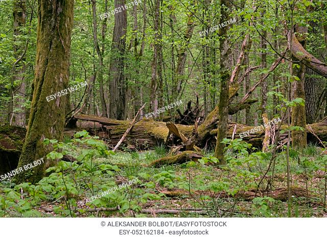 Deciduous stand with hornbeams and oak in springtime midday, Bialowieza Forest, Poland, Europe