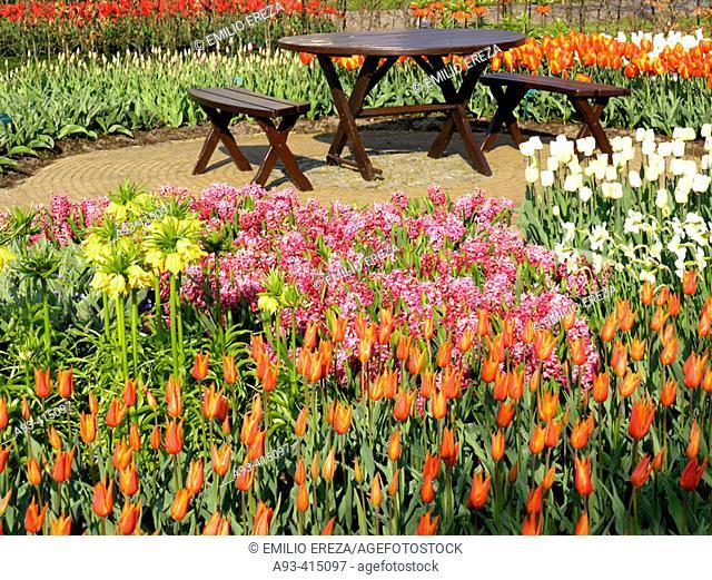 Tulips (Tulipa hybr.) and daffodils (Narcissus hybr.) in Keukenhof Park, Lisse. Netherlands