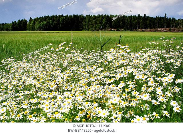 Scentless mayweed, Scentless chamomile (Tripleurospermum perforatum, Tripleurospermum inodorum, Matricaria inodora), blooming at the field boundary, Sweden