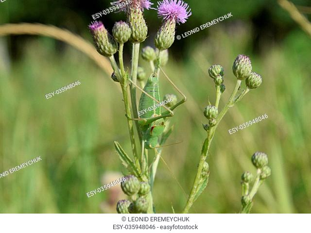 Isophya on the stems of the tubercle. Wingless grasshopper Isophya