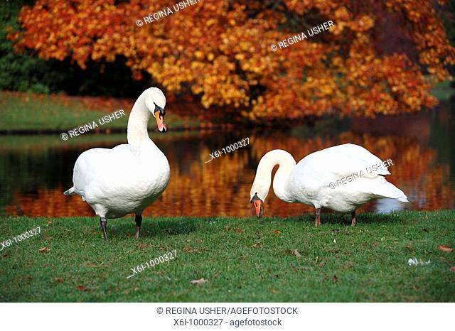 Mute Swan Cygnus olor, pair feeding at edge of lake in autumn, Germany