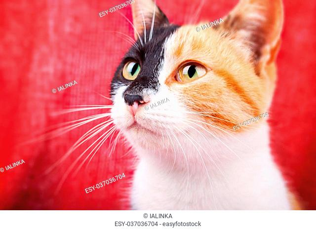 Cute Calico Cat on the Brightly Red Background