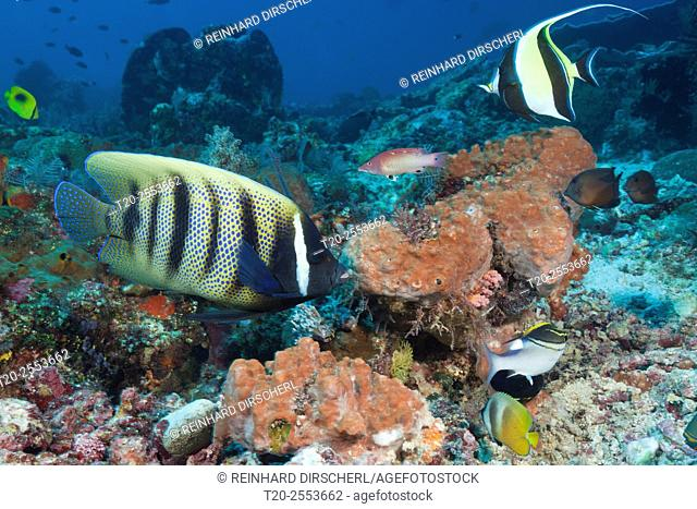 Six-banded Angelfish in Coral Reef, Pomacanthus sexstriatus, Komodo National Park, Indonesia