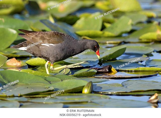 Common Moorhen (Gallinula chloropus) foraging between European white water-lilies (Nymphaea alba), The Netherlands, Zuid-holland, Zouweboezem