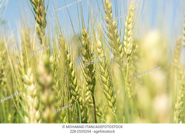 Wheat field Jhelum Pakistan