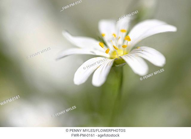 Stitchwort, Greater Stitchwort, Stellaria hoostea, Single of white coloured flowers growing outdoor.-