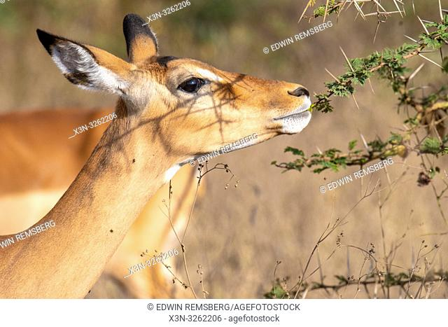 An impala (Aepyceros melampus) eating in Nakuru National Park, Kenya