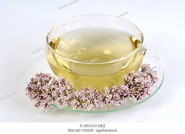 Common Valerian cup of Valerian tea Valeriana officinalis