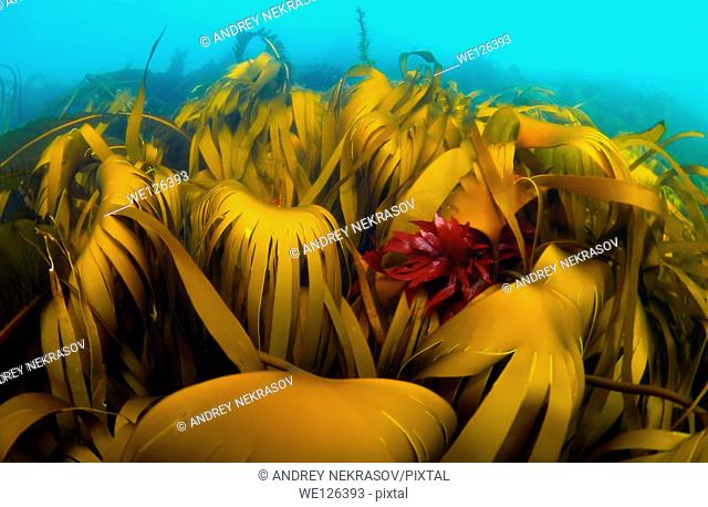 Blade Kelp ( Laminaria hyperborea), Arctic, Russia, Barents sea
