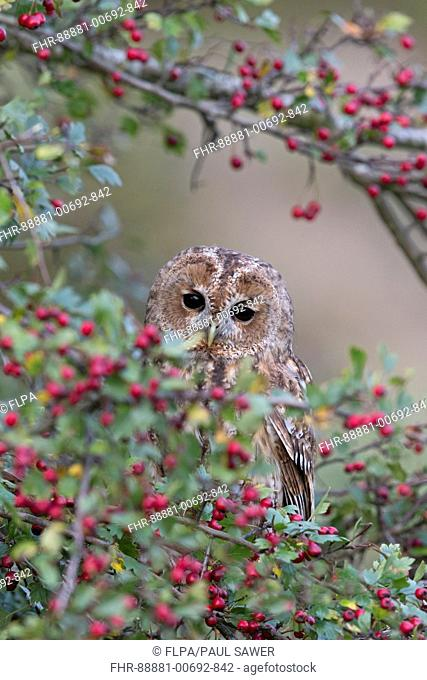 Tawny Owl (Strix aluco) adult, perched in Common Hawthorn (Crataegus oxyacantha) with berries, Suffolk, England, October, controlled subject