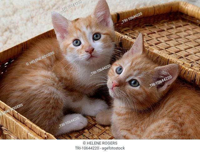 Ginger Kittens Laying In A Wicker Picnic Basket