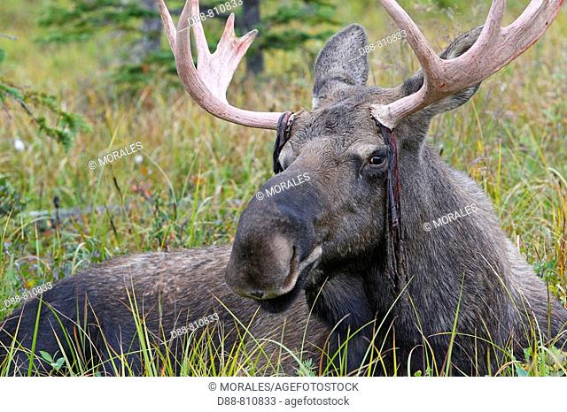 Moose (Alces alces), 3 year old male losing antler velvet. Seward Peninsula, Alaska, USA