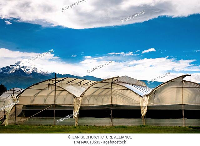 Greenhouses inside a flower farm laying below the volcano of Cayambe in Ecuador, 23 June 2010. South American countries (Colombia and Ecuador) are world leaders...