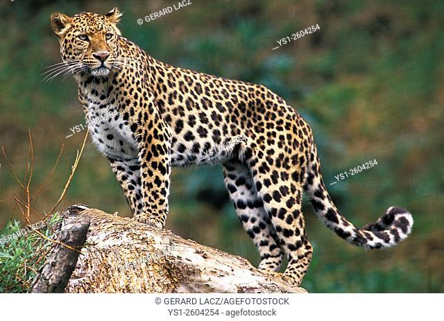 Leopard, panthera pardus, Africa