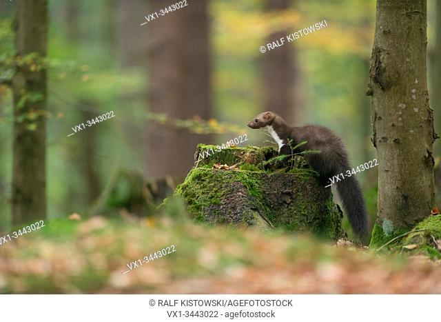 Beech Marten / Stone Marten (Martes foina), hunting, on a tree stub, in nice surrounding of a natural forest, autumn colours