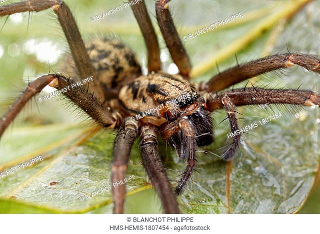 France, Pyrenees Atlantiques, Araneae, Dust spider (Tegenaria atrica), portrait of female