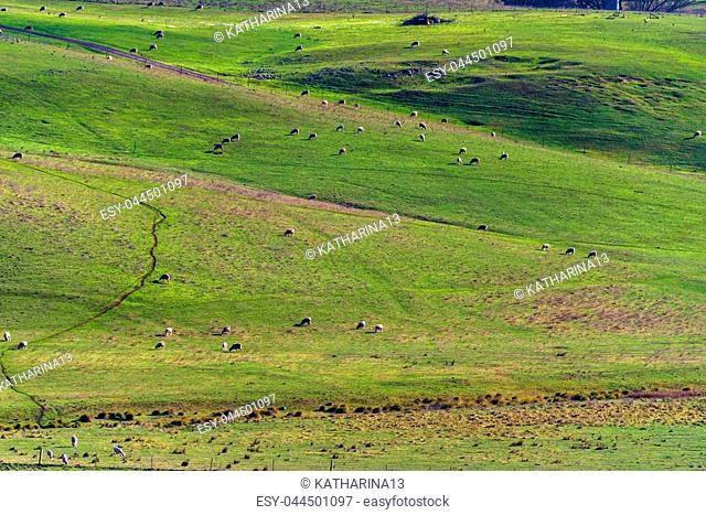 Aerial view of animals grazing green grass on paddock pasture against blue sky. Cattle on the farm rural agriculture scene