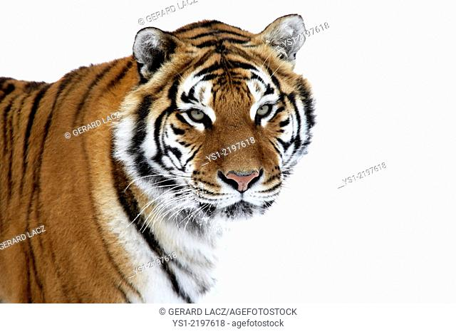 Siberian Tiger, panthera tigris altaica, Portrait on Snow