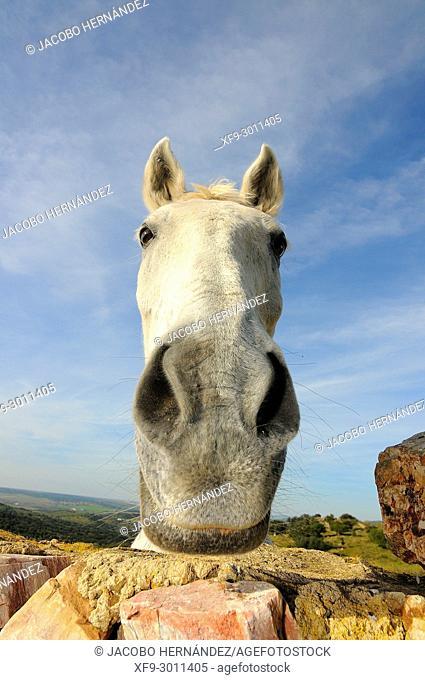 White horse looking behind a wall. Palomas. Badajoz province. Extremadura. Spain