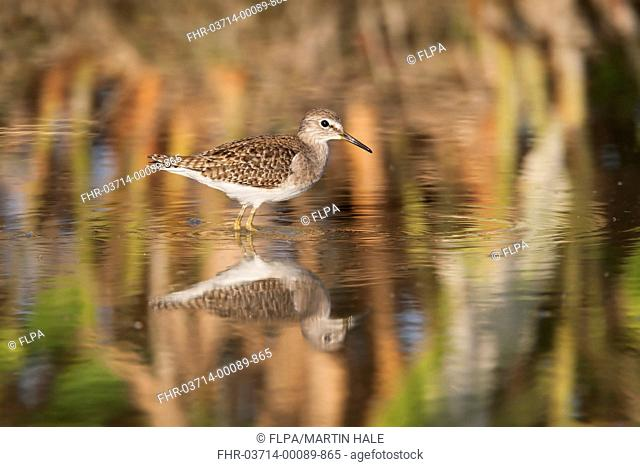 Wood Sandpiper (Tringa glareola) juvenile, standing in shallow water with reflection, Long Valley, New Territories, Hong Kong, China, December